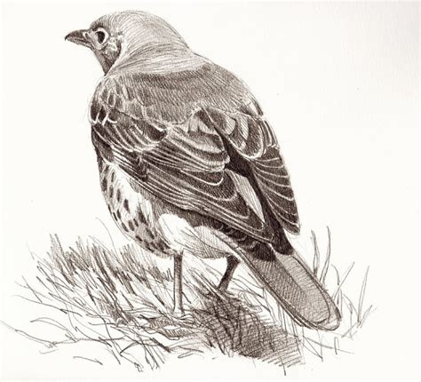 Bird drawings and paintings: Mistle Thrush | Pen/Ink ...