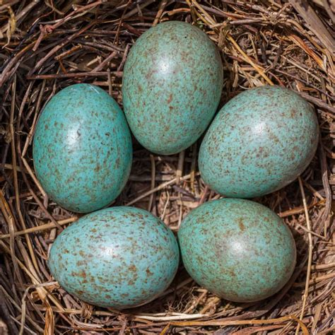 Bird egg identifier - GardenBird