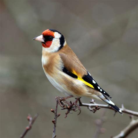 Bird Info/ Goldfinch | Farbrook Farm