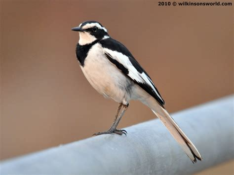 Bird of the week | Wilkinson s World | Page 11