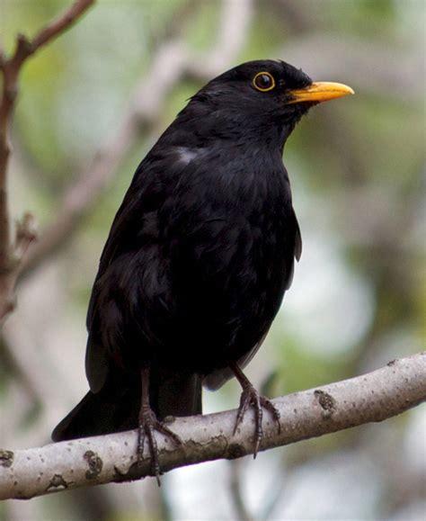 Bird Quizzes - Garden Birds 01 - Most Common