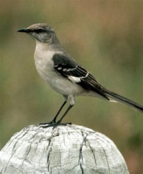Bird Sounds and Songs of the Northern Mockingbird | The ...