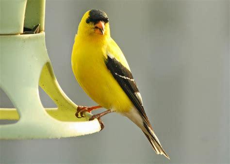 Birding with Lisa de Leon: Small Yellow Birds In Newfoundland