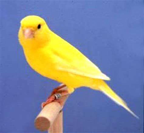 Birds: Canary Picture