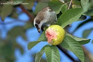 Birds Eating Fruits on a Tree   Philippine Bird ...