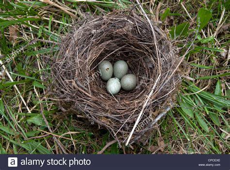 birds' eggs - blackbird - Turdus merula Stock Photo ...