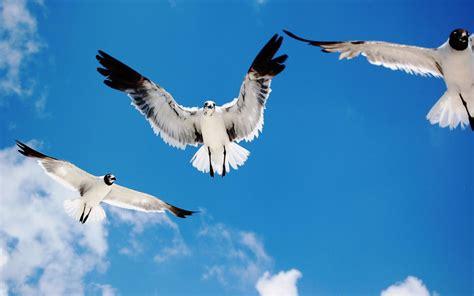 Birds Flying In The Sky Wallpaper   HD Wallpapers
