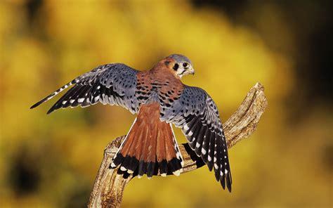 Birds of Prey Amazing Wallpapers   HD Wallpapers