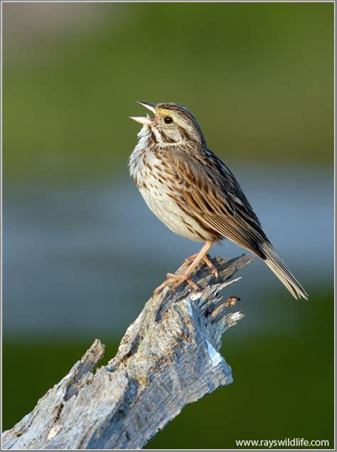 Birds of the Bible – Singing Birds | Lee s Birdwatching ...