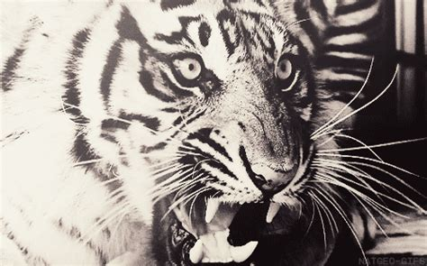 Black And White Tiger GIF - Find & Share on GIPHY