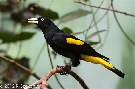 black and yellow bird 1902   Flickr   Photo Sharing!
