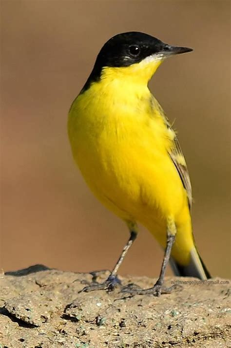 Black headed yellow Wagtail.   Beautiful Colored Birds ...