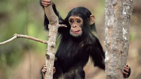 Black monkey climbing a tree | HD Animals Wallpapers