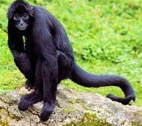 Black Spider Monkey Facts, History, Useful Information and ...