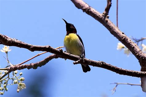 Black Yellow Bird | I dont's know its Exact name!! Can ...