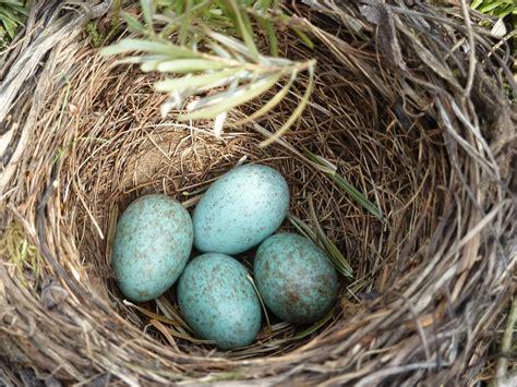 Blackbird Nest Egg · Free photo on Pixabay