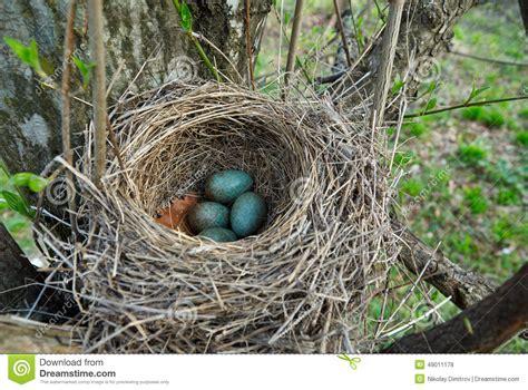 Blackbird nest with eggs stock photo. Image of wildlife ...