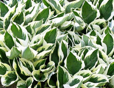 Blanc et vert panaché feuilles de la plante Hosta - un ...