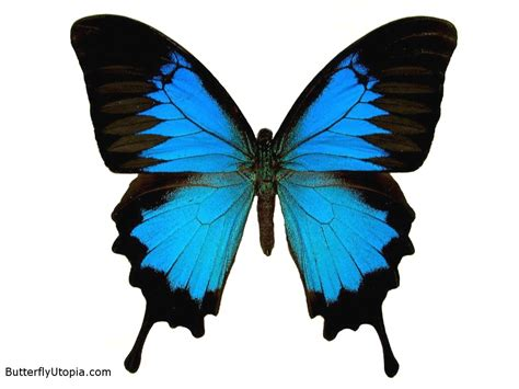 Blue butterflies wallpaper |Funny Animal