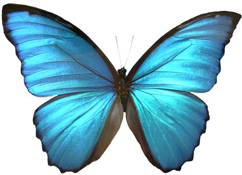 Blue Butterfly Drawings   ClipArt Best