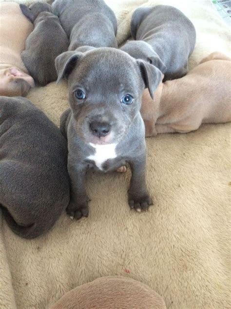 Blue & Fawn Staffordshire Bull Terrier Puppies | Witham ...