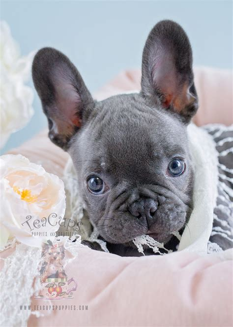 Blue Female Frenchie Puppies For Sale in Davie Florida ...