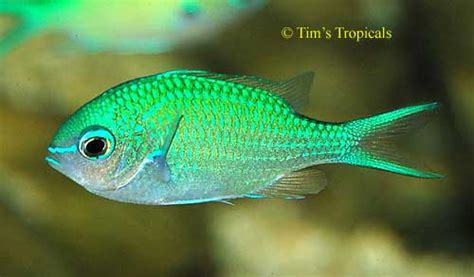 Blue Green Chromis, Chromis viridis - Tim's Tropical Fish ...