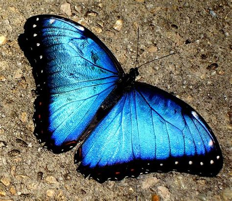 Blue Morpho Butterfly | Flickr   Photo Sharing!