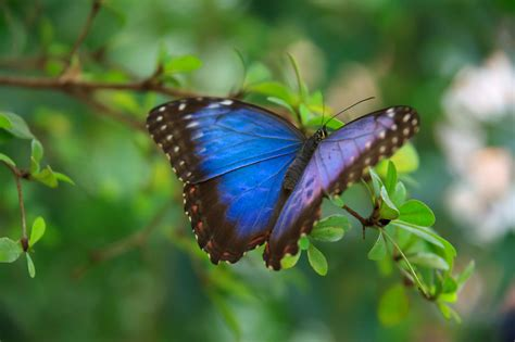 Blue Morpho Butterfly Free Stock Photo - Public Domain ...