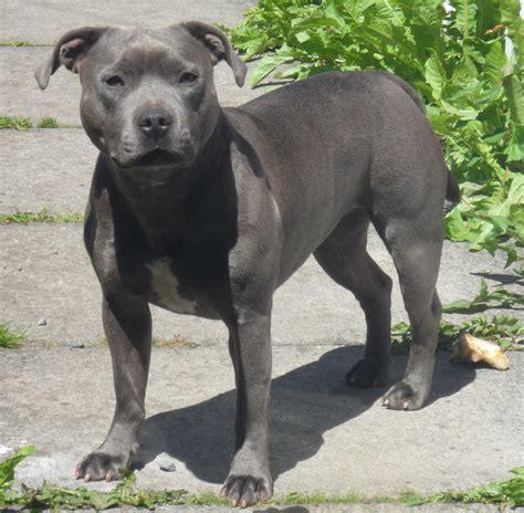 Blue Staffordshire Bull Terrier | www.imgkid.com   The ...