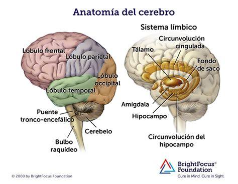 Bonito Anatomía De Un Cerebro Composición - Anatomía de ...