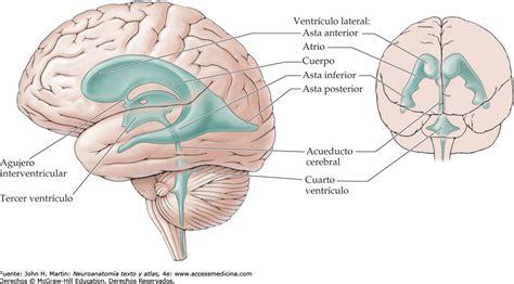 Bonito Cuarto Ventriculo Fotos Cerebelo Neuroanatomia ...
