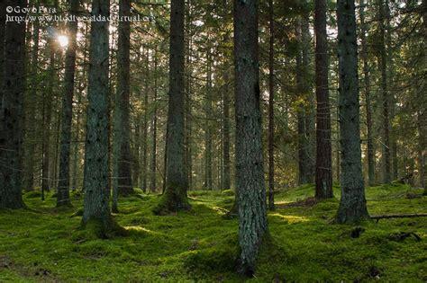Bosque De Coniferas Images