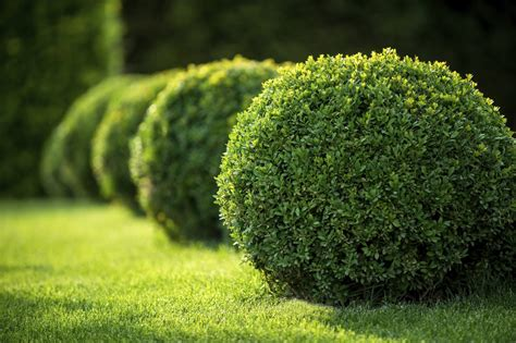 Boxwood Plant Food – Learn About Boxwood Fertilizer ...