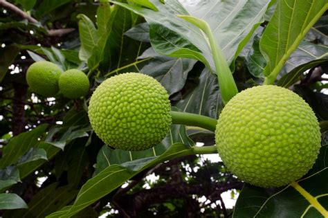 Breadfruit, A Treasured Part of Caribbean Food & Culture ...
