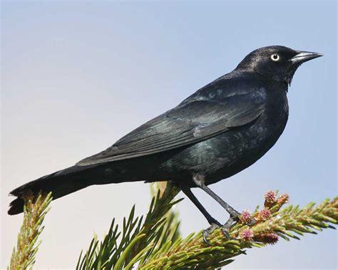 Brewer's Blackbird | Audubon Field Guide
