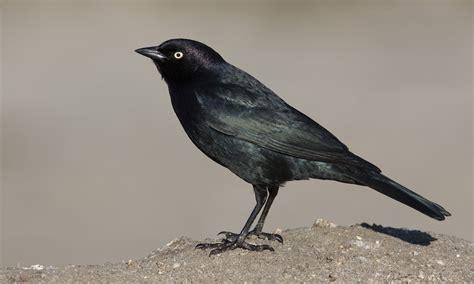 Brewer's Blackbird - | Birds of North America Online