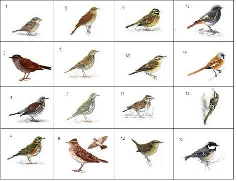 British Brown Birds (pictures) Quiz - By spikeharby