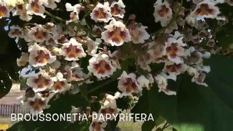 Broussonetia papyrifera. Garden Center online Costa Brava ...