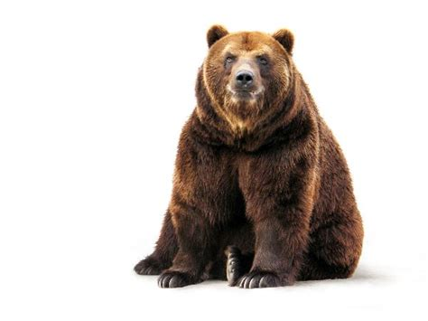 Brown bear   Animal Facts and Information