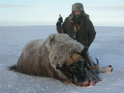 Buey almizclero en Canadá y Groenlandia   Trofeo caza