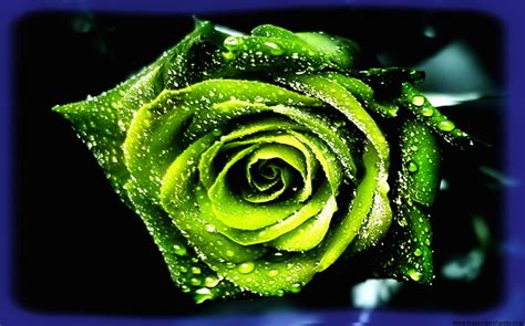 Busca Imágenes de Rosas Hermosas Gratis para Regalar.