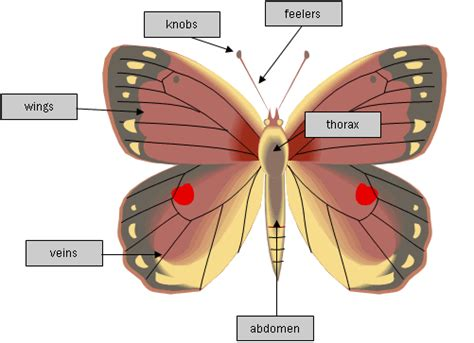 Butterflies and Moths | Physical Features and Life Cycle ...