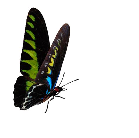 Butterflies - Free animations (animated gif)