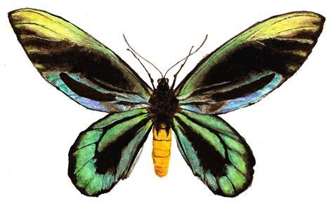 Butterfly genus species - Queen Alexandra's Birdwing ...