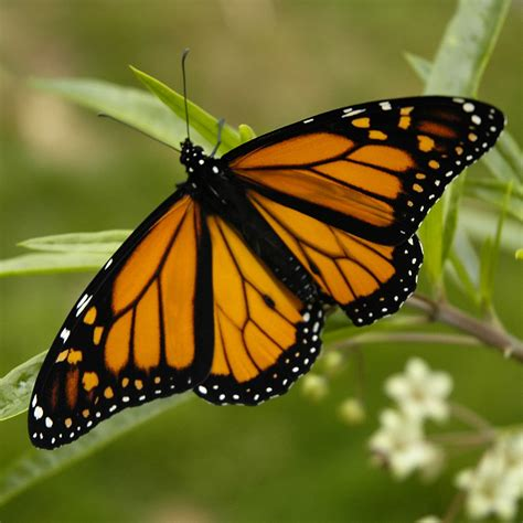 Butterfly Monarch Butterflies Facts   Butterfly