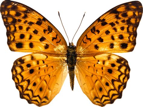 Butterfly PNG image, free picture download