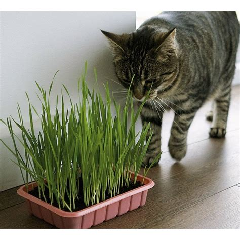 Buy Catgrass  Sweet Oats for Cats , Orchard Grass, cat in ...