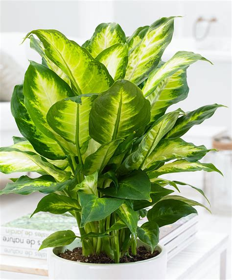 Buy house plants now Dieffenbachia 'Camilla'