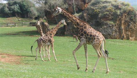 Cabárceno podría volver a tener jirafas este verano ...